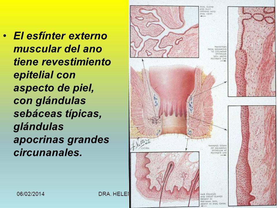 06/02/2014DRA. HELEN MORALES, USAC.70 El esfínter externo muscular del ano tiene revestimiento epitelial con aspecto de piel, con glándulas sebáceas t