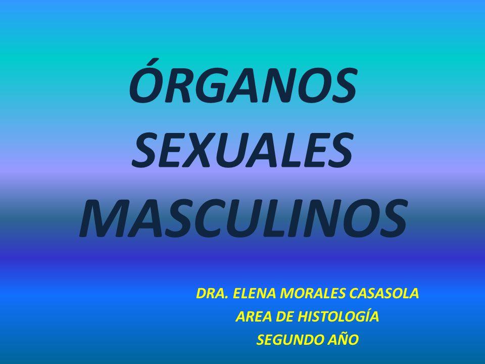 ÓRGANOS SEXUALES MASCULINOS DRA. ELENA MORALES CASASOLA AREA DE HISTOLOGÍA SEGUNDO AÑO