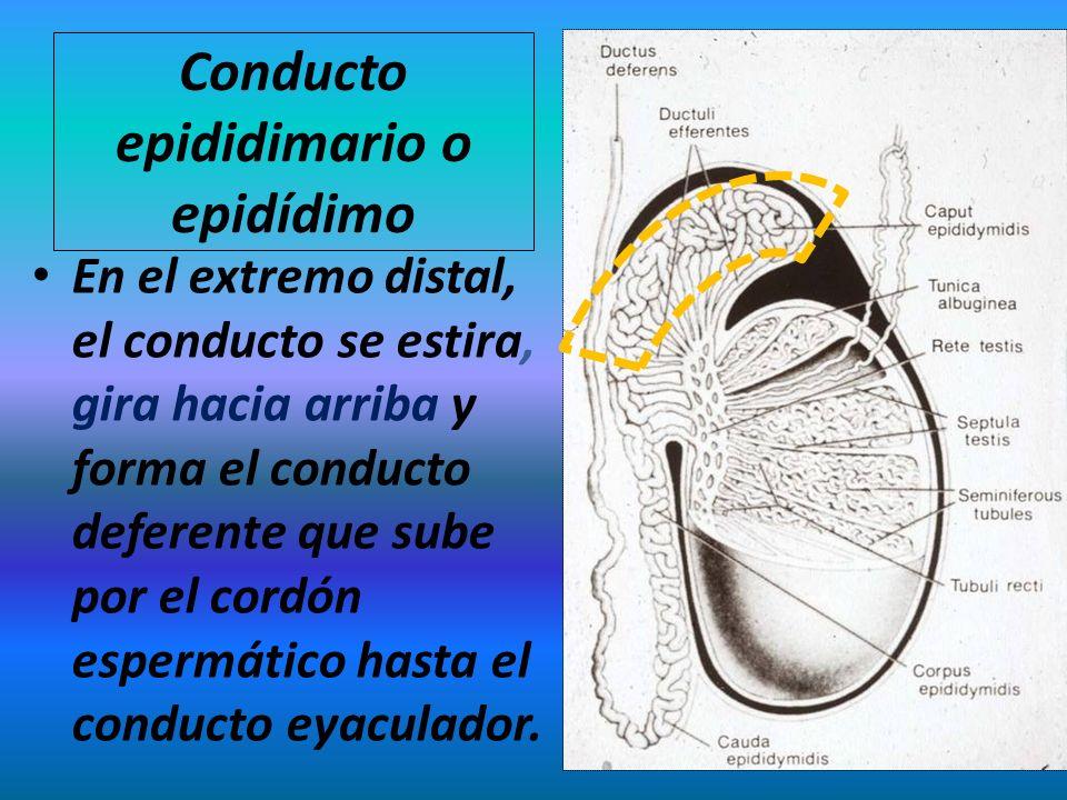 Conducto epididimario o epidídimo En el extremo distal, el conducto se estira, gira hacia arriba y forma el conducto deferente que sube por el cordón