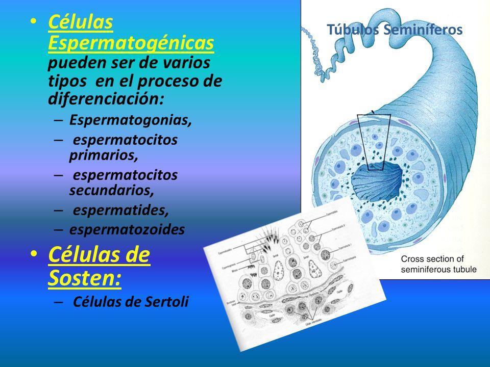 Células Espermatogénicas pueden ser de varios tipos en el proceso de diferenciación: – Espermatogonias, – espermatocitos primarios, – espermatocitos s