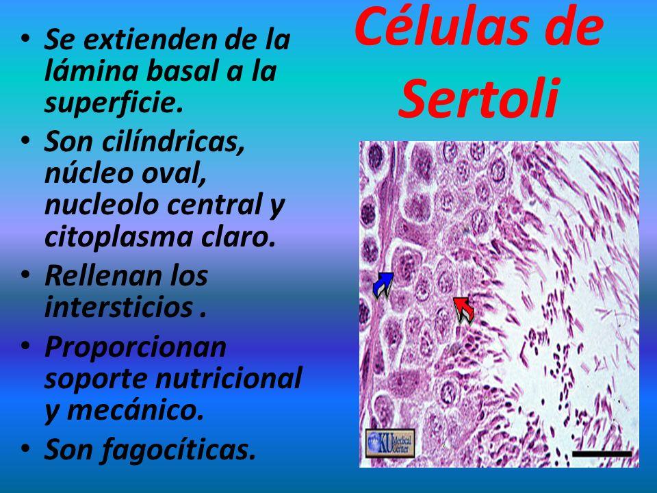 Células de Sertoli Se extienden de la lámina basal a la superficie. Son cilíndricas, núcleo oval, nucleolo central y citoplasma claro. Rellenan los in