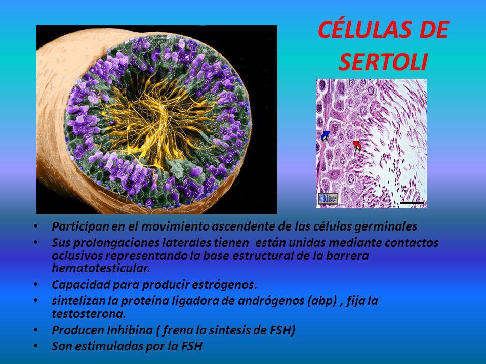 CÉLULAS DE SERTOLI Participan en el movimiento ascendente de las células germinales Sus prolongaciones laterales tienen están unidas mediante contacto