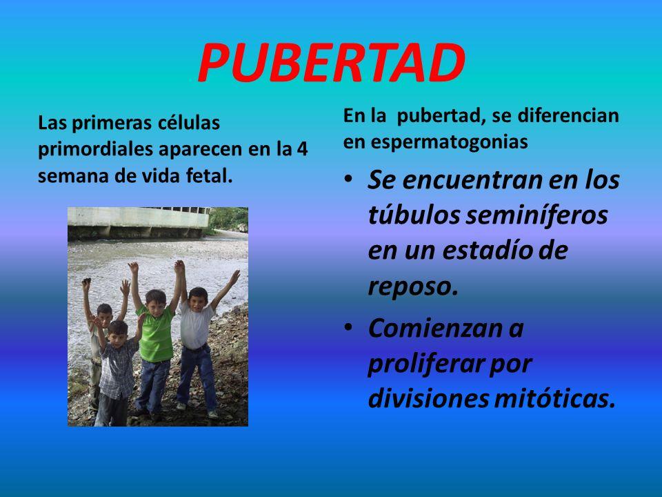 PUBERTAD Las primeras células primordiales aparecen en la 4 semana de vida fetal. En la pubertad, se diferencian en espermatogonias Se encuentran en l
