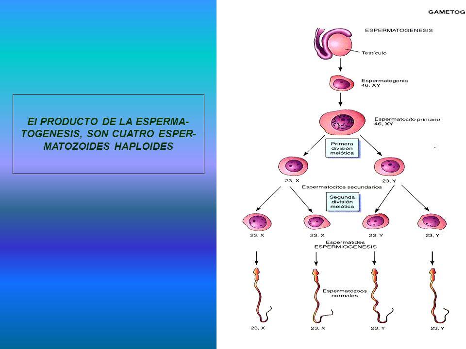 El PRODUCTO DE LA ESPERMA- TOGENESIS, SON CUATRO ESPER- MATOZOIDES HAPLOIDES