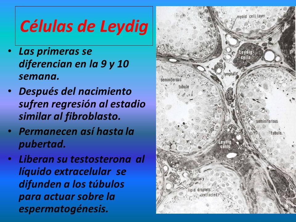Células de Leydig Las primeras se diferencian en la 9 y 10 semana. Después del nacimiento sufren regresión al estadio similar al fibroblasto. Permanec