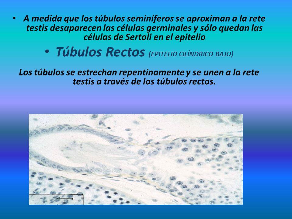 A medida que los túbulos seminíferos se aproximan a la rete testis desaparecen las células germinales y sólo quedan las células de Sertoli en el epite
