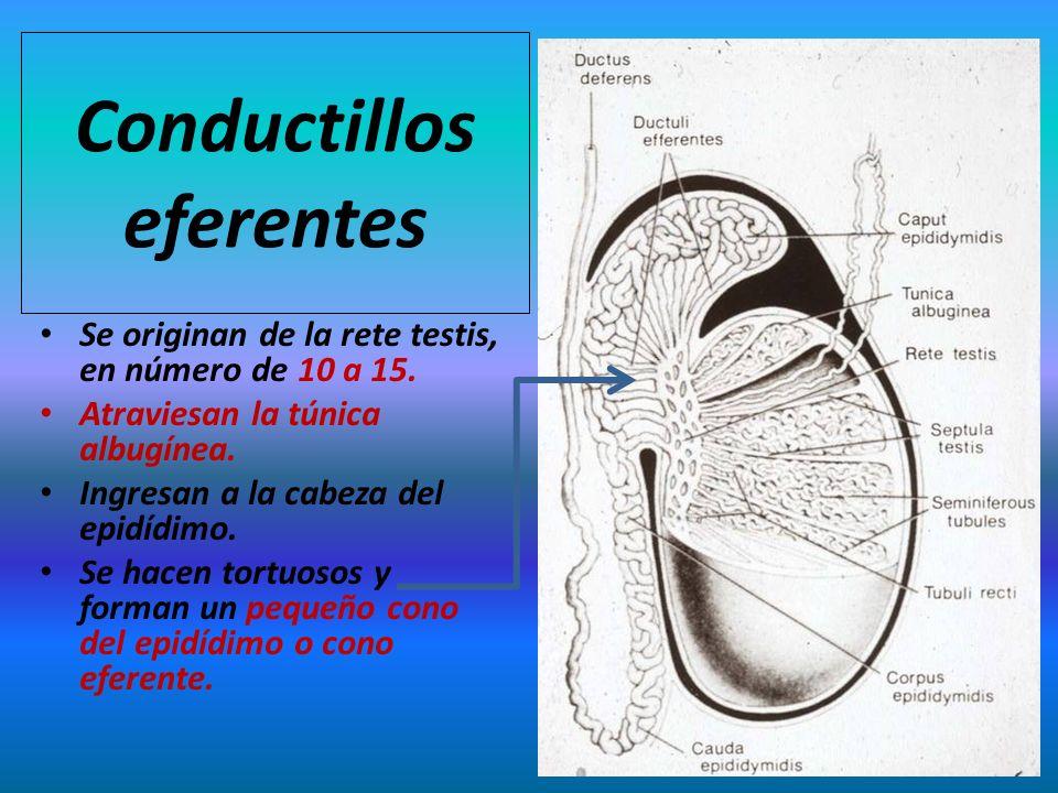 Conductillos eferentes Se originan de la rete testis, en número de 10 a 15. Atraviesan la túnica albugínea. Ingresan a la cabeza del epidídimo. Se hac
