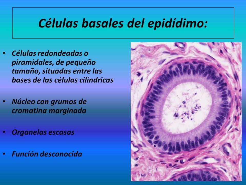 Células basales del epidídimo: Células redondeadas o piramidales, de pequeño tamaño, situadas entre las bases de las células cilíndricas Núcleo con gr