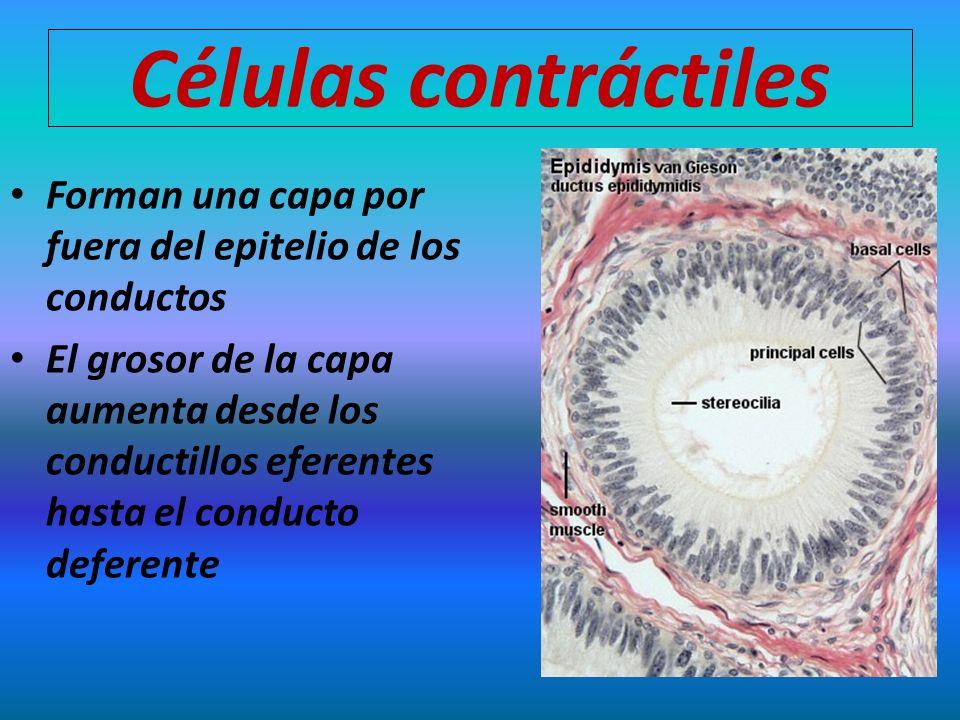 Células contráctiles Forman una capa por fuera del epitelio de los conductos El grosor de la capa aumenta desde los conductillos eferentes hasta el co