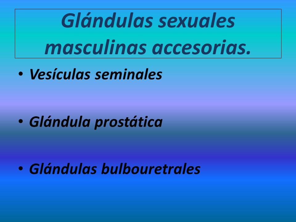 Glándulas sexuales masculinas accesorias. Vesículas seminales Glándula prostática Glándulas bulbouretrales