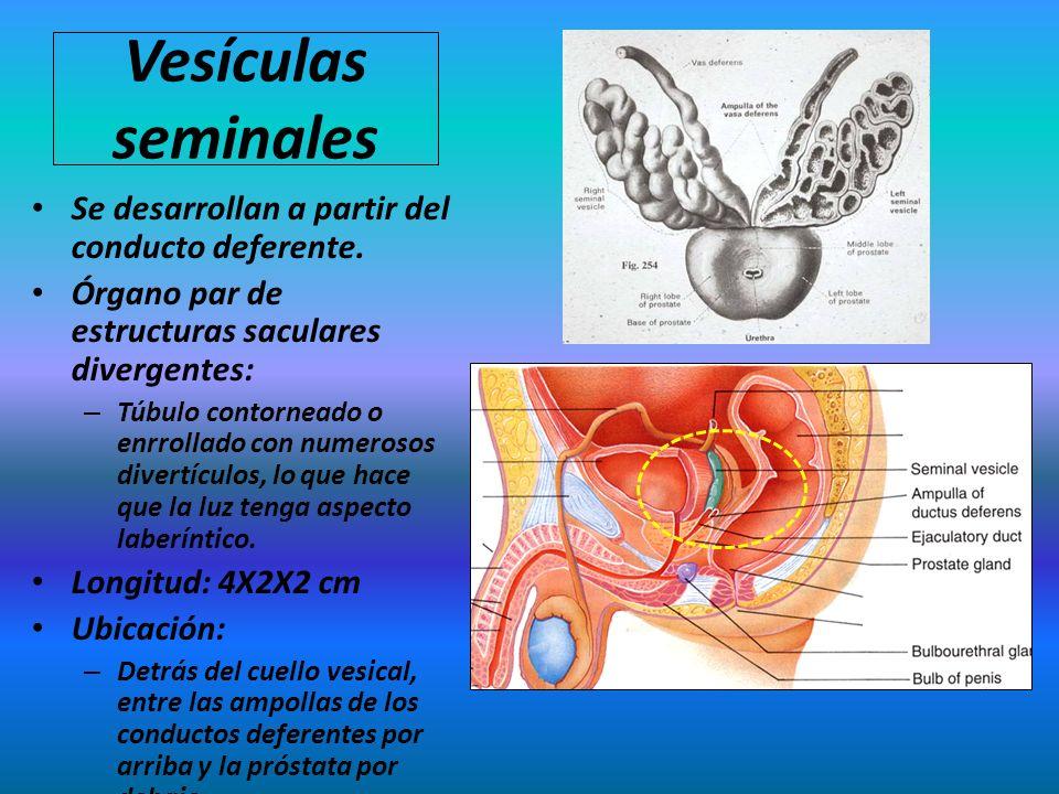 Vesículas seminales Se desarrollan a partir del conducto deferente. Órgano par de estructuras saculares divergentes: – Túbulo contorneado o enrrollado