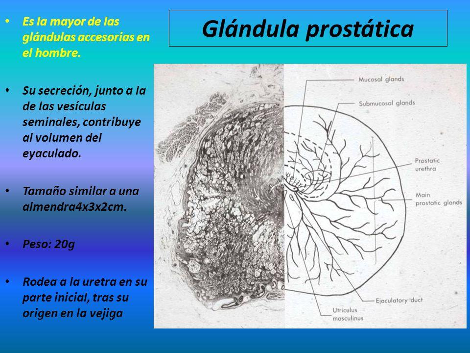 Glándula prostática Es la mayor de las glándulas accesorias en el hombre. Su secreción, junto a la de las vesículas seminales, contribuye al volumen d