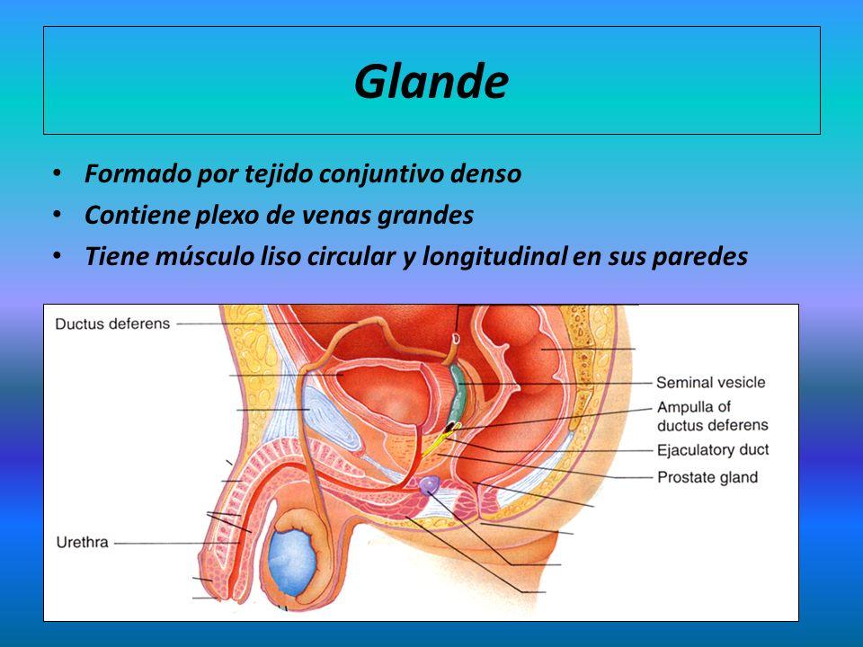 Glande Formado por tejido conjuntivo denso Contiene plexo de venas grandes Tiene músculo liso circular y longitudinal en sus paredes