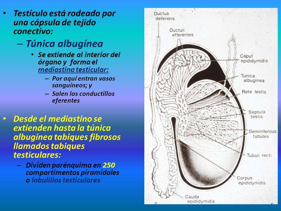 Testículo está rodeado por una cápsula de tejido conectivo: – Túnica albugínea Se extiende al interior del órgano y forma el mediastino testicular: –