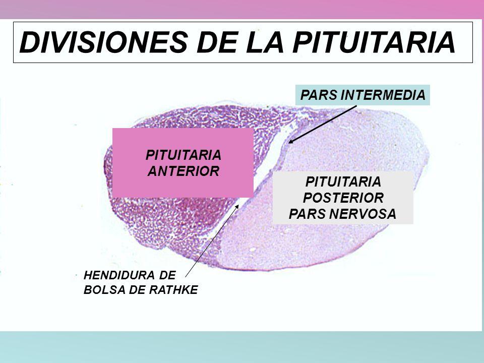DIVISIONES DE LA PITUITARIA PARS INTERMEDIA PITUITARIA POSTERIOR PARS NERVOSA PITUITARIA ANTERIOR HENDIDURA DE BOLSA DE RATHKE