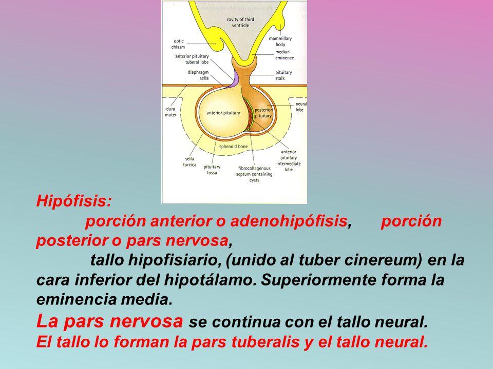 Hipófisis: porción anterior o adenohipófisis, porción posterior o pars nervosa, tallo hipofisiario, (unido al tuber cinereum) en la cara inferior del