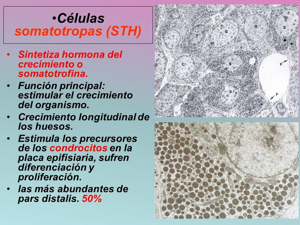 Sintetiza hormona del crecimiento o somatotrofina. Función principal: estimular el crecimiento del organismo. Crecimiento longitudinal de los huesos.