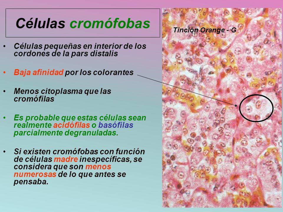 Células cromófobas Células pequeñas en interior de los cordones de la pars distalis Baja afinidad por los colorantes Menos citoplasma que las cromófil