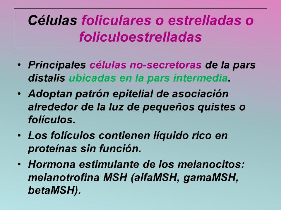 Células foliculares o estrelladas o foliculoestrelladas Principales células no-secretoras de la pars distalis ubicadas en la pars intermedia. Adoptan