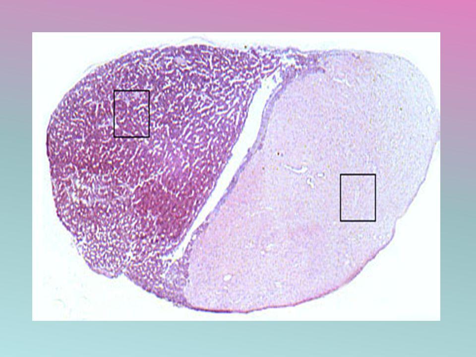 PARS TUBERALIS O PARS INFUNDIBULARIS Forma delgada capa alrededor del tallo neural.