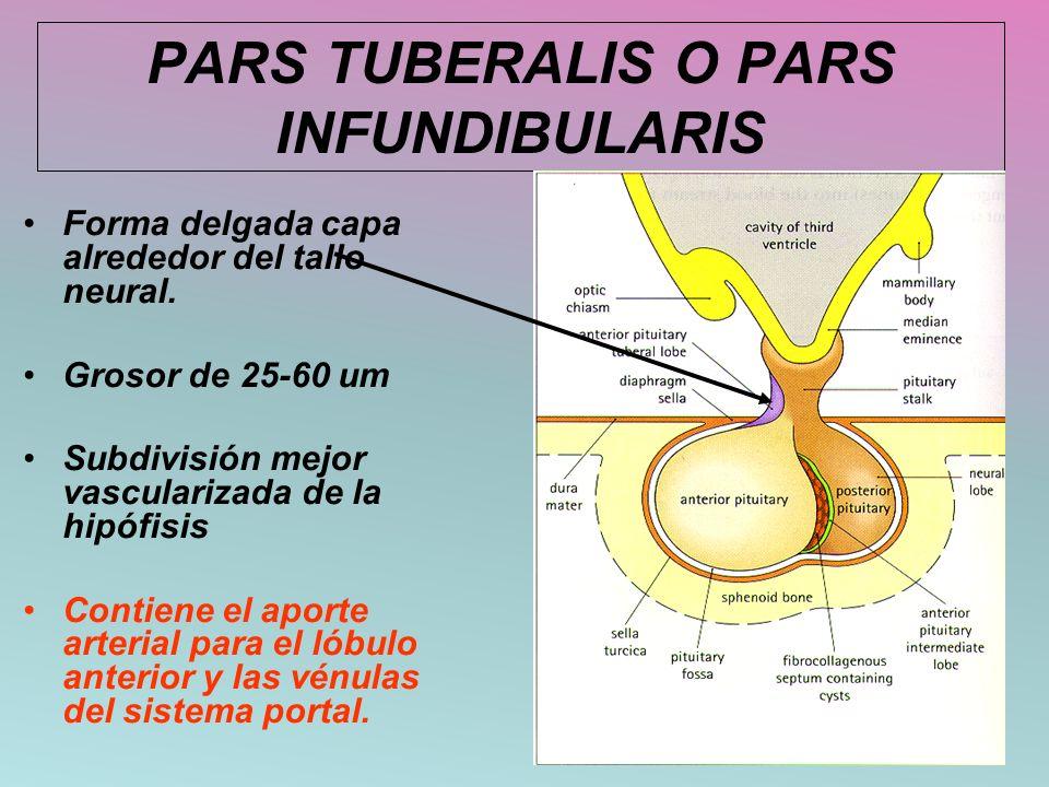 PARS TUBERALIS O PARS INFUNDIBULARIS Forma delgada capa alrededor del tallo neural. Grosor de 25-60 um Subdivisión mejor vascularizada de la hipófisis