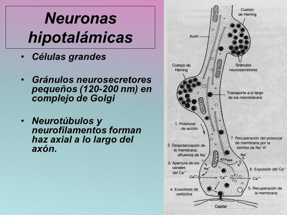Neuronas hipotalámicas Células grandes Gránulos neurosecretores pequeños (120-200 nm) en complejo de Golgi Neurotúbulos y neurofilamentos forman haz a