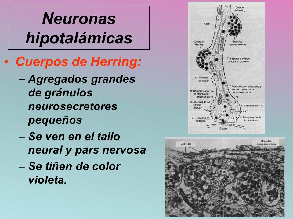 Cuerpos de Herring: –Agregados grandes de gránulos neurosecretores pequeños –Se ven en el tallo neural y pars nervosa –Se tiñen de color violeta. Neur