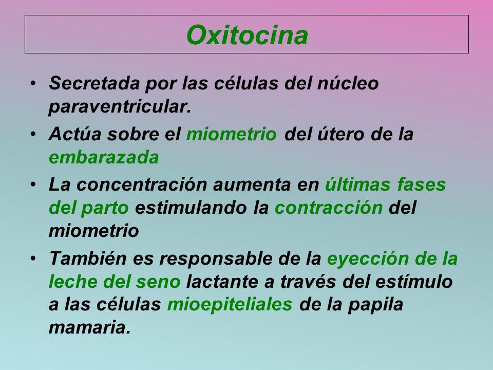 Oxitocina Secretada por las células del núcleo paraventricular. Actúa sobre el miometrio del útero de la embarazada La concentración aumenta en última