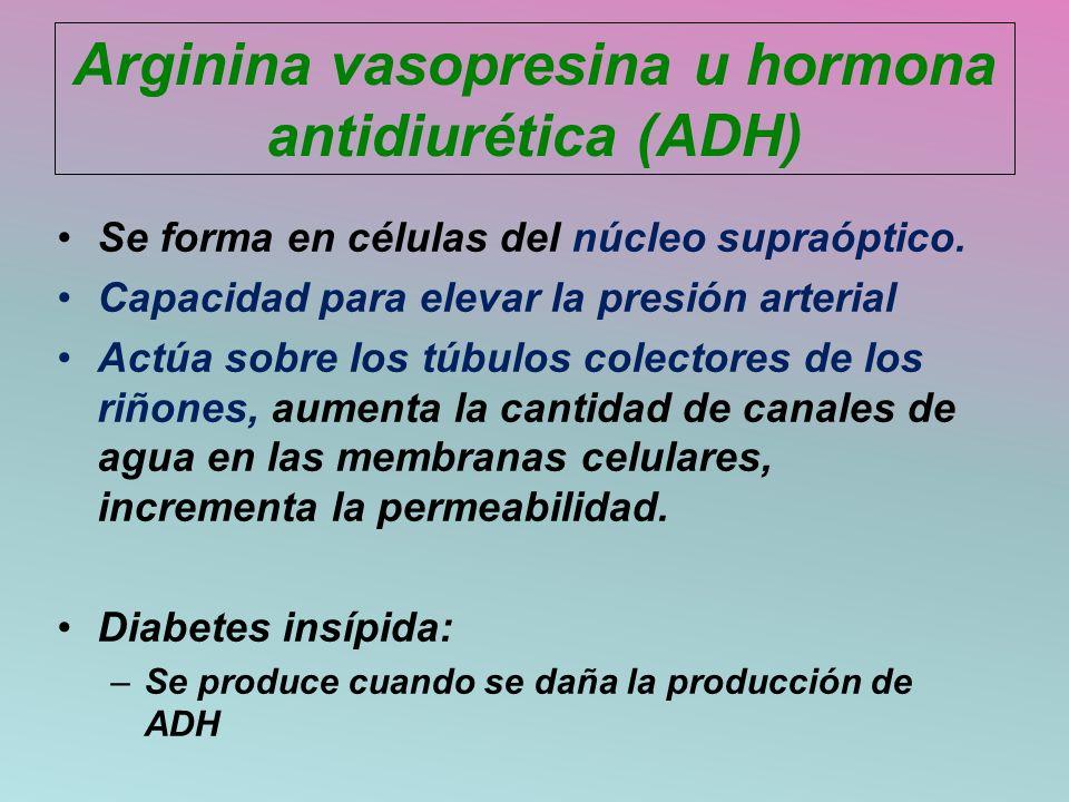 Arginina vasopresina u hormona antidiurética (ADH) Se forma en células del núcleo supraóptico. Capacidad para elevar la presión arterial Actúa sobre l
