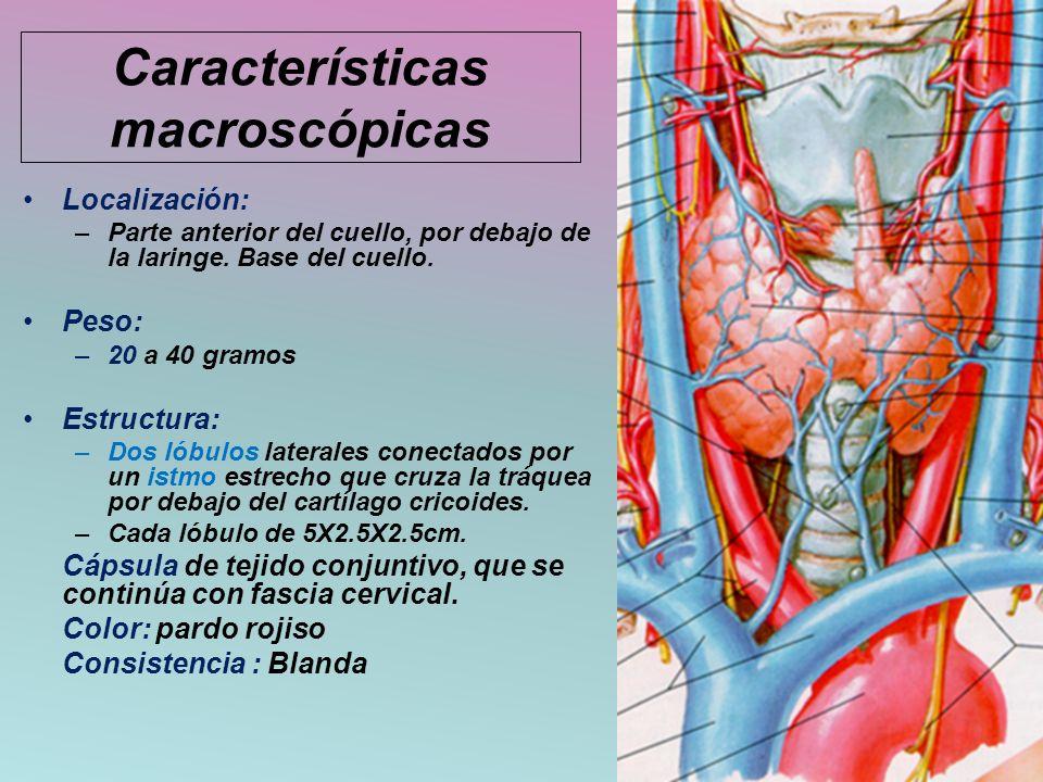 Características macroscópicas Localización: –Parte anterior del cuello, por debajo de la laringe. Base del cuello. Peso: –20 a 40 gramos Estructura: –