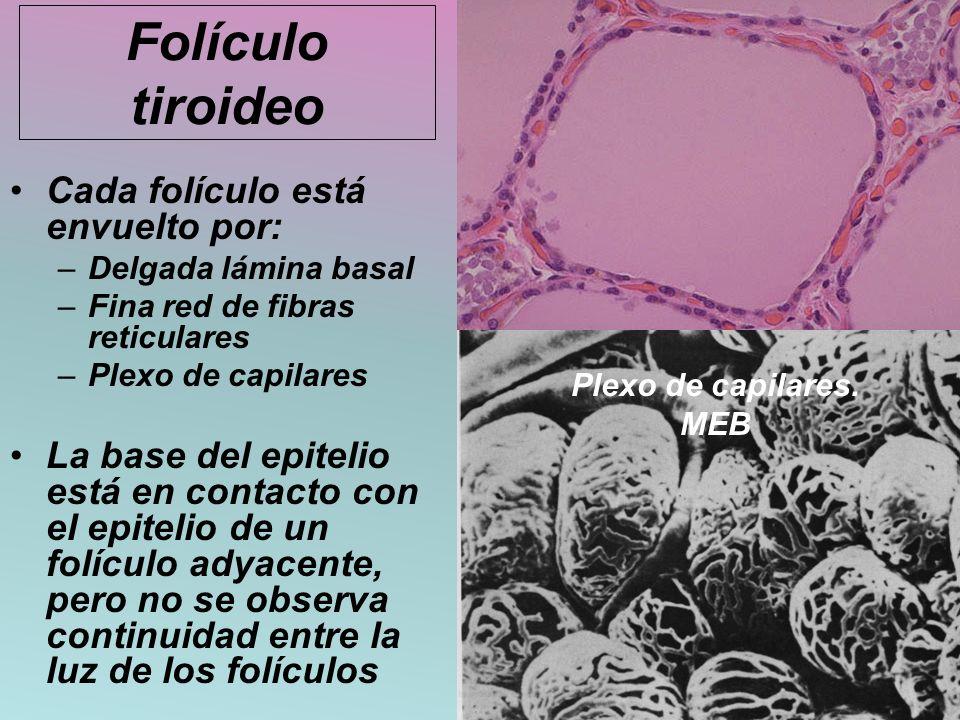 Folículo tiroideo Cada folículo está envuelto por: –Delgada lámina basal –Fina red de fibras reticulares –Plexo de capilares La base del epitelio está