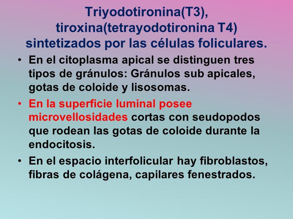 Triyodotironina(T3), tiroxina(tetrayodotironina T4) sintetizados por las células foliculares. En el citoplasma apical se distinguen tres tipos de grán
