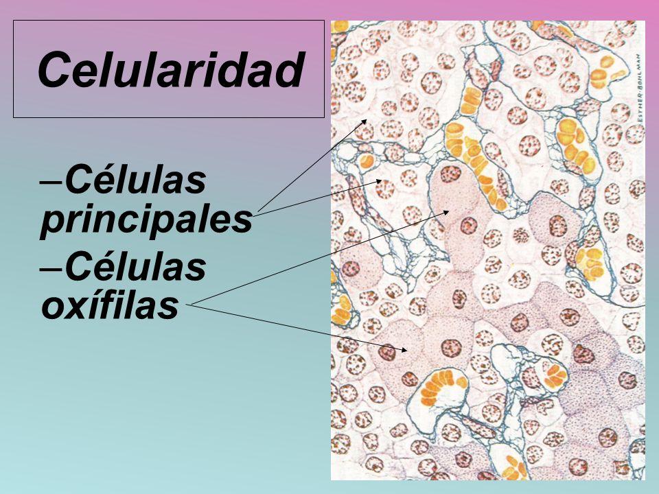 Celularidad –Células principales –Células oxífilas