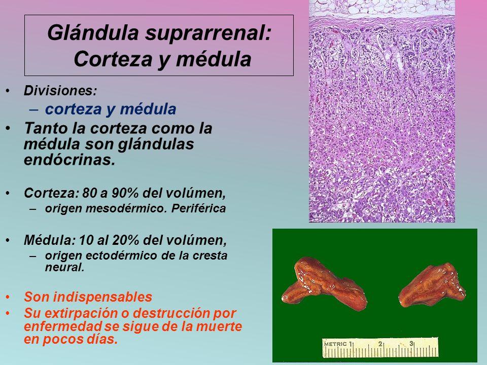 Glándula suprarrenal: Corteza y médula Divisiones: –corteza y médula Tanto la corteza como la médula son glándulas endócrinas. Corteza: 80 a 90% del v
