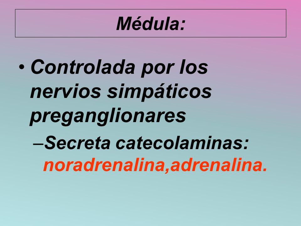 Médula: Controlada por los nervios simpáticos preganglionares –Secreta catecolaminas: noradrenalina,adrenalina.