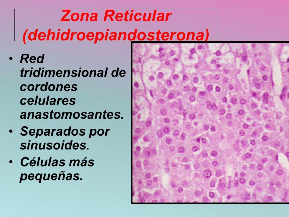 Zona Reticular (dehidroepiandosterona) Red tridimensional de cordones celulares anastomosantes. Separados por sinusoides. Células más pequeñas.