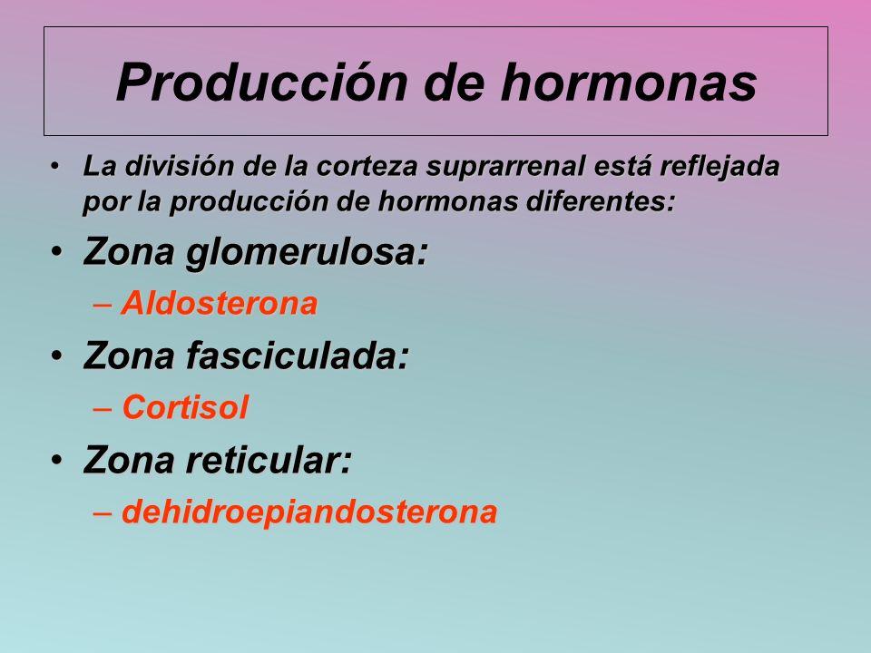 Producción de hormonas La división de la corteza suprarrenal está reflejada por la producción de hormonas diferentes:La división de la corteza suprarr