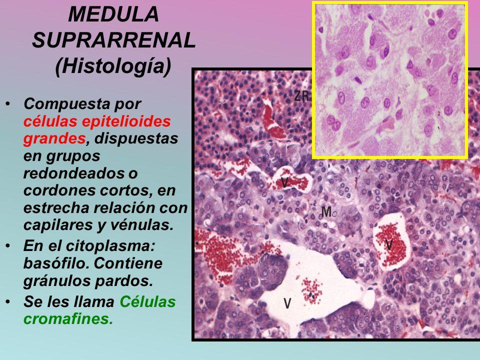 MEDULA SUPRARRENAL (Histología) Compuesta por células epitelioides grandes, dispuestas en grupos redondeados o cordones cortos, en estrecha relación c
