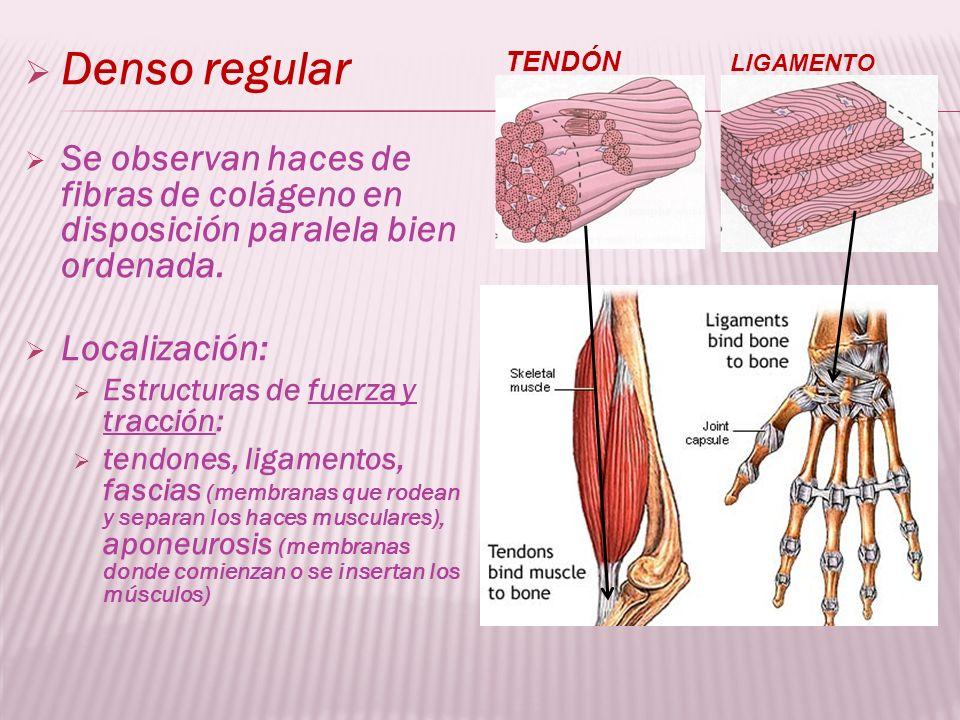 Denso regular Se observan haces de fibras de colágeno en disposición paralela bien ordenada. Localización: Estructuras de fuerza y tracción: tendones,
