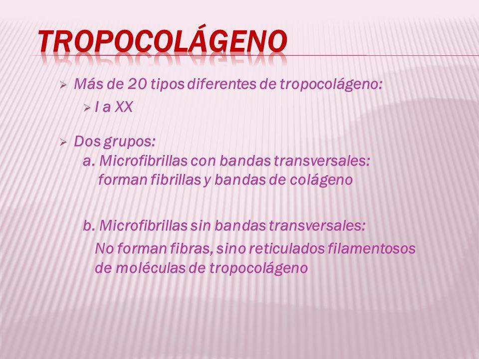 Más de 20 tipos diferentes de tropocolágeno: I a XX Dos grupos: a. Microfibrillas con bandas transversales: forman fibrillas y bandas de colágeno b. M