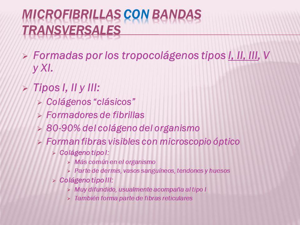 Formadas por los tropocolágenos tipos I, II, III, V y XI. Tipos I, II y III: Colágenos clásicos Formadores de fibrillas 80-90% del colágeno del organi