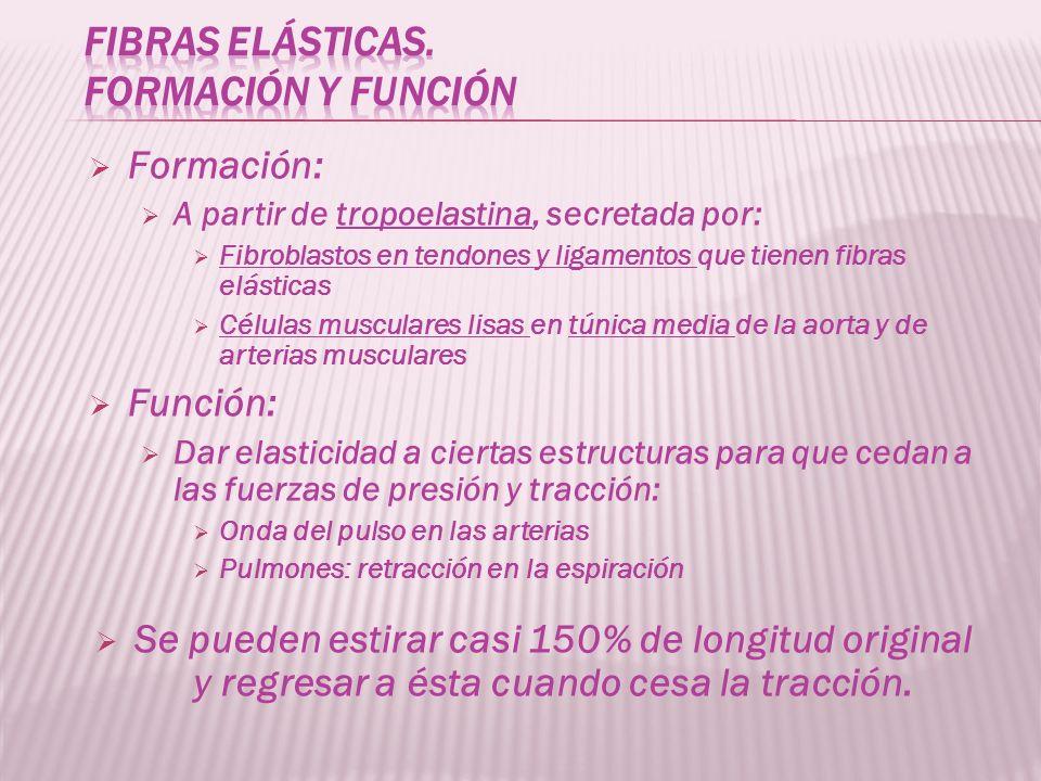Formación: A partir de tropoelastina, secretada por: Fibroblastos en tendones y ligamentos que tienen fibras elásticas Células musculares lisas en tún