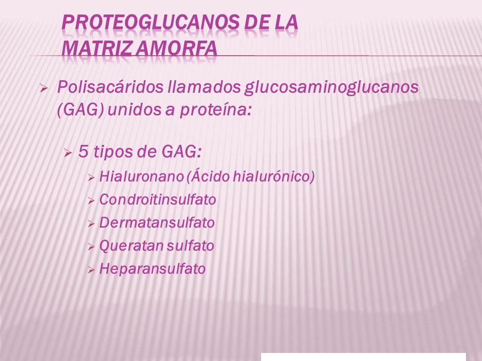 Polisacáridos llamados glucosaminoglucanos (GAG) unidos a proteína: 5 tipos de GAG: Hialuronano (Ácido hialurónico) Condroitinsulfato Dermatansulfato