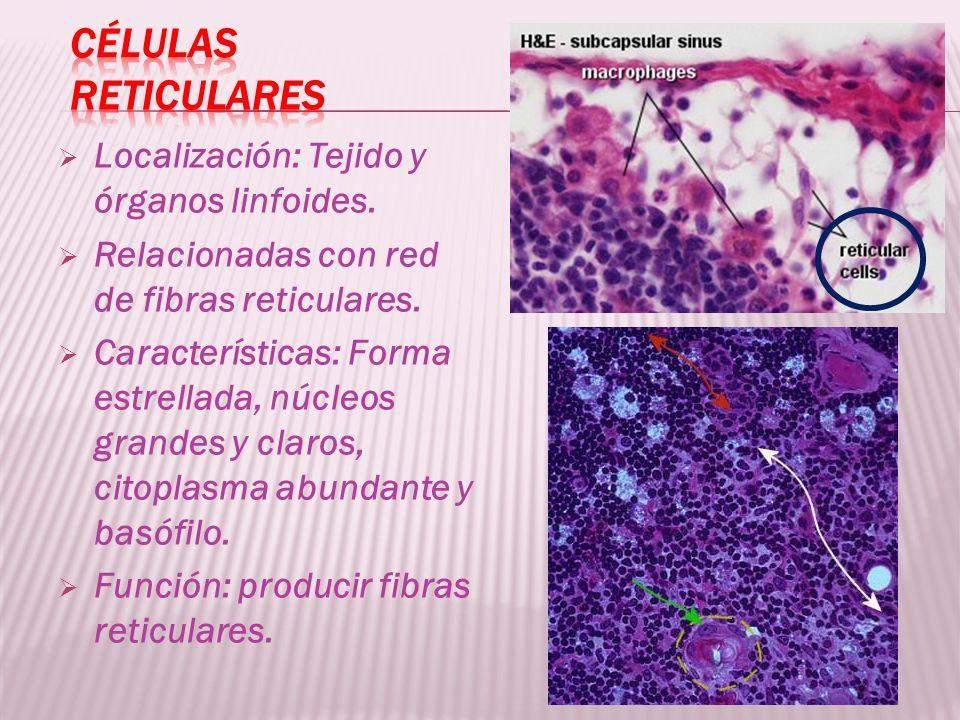 Localización: Tejido y órganos linfoides. Relacionadas con red de fibras reticulares. Características: Forma estrellada, núcleos grandes y claros, cit