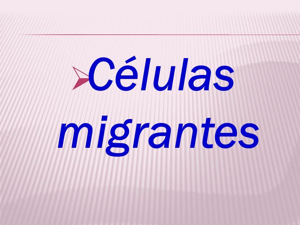 Células migrantes