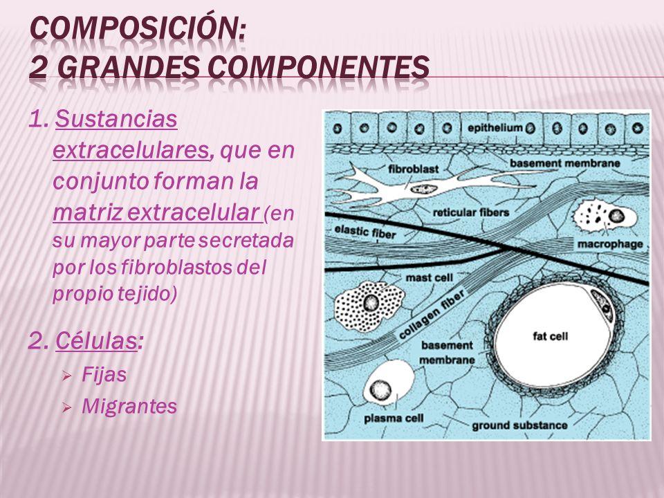 Fibras colágenas son las más frecuentes del tejido conectivo (colágeno: proteína más abundante del mundo animal) De 1 a 10 mu de grosor Rayado longitudinal en las más gruesas: Debido a que están compuestas por fibrillas de 02.