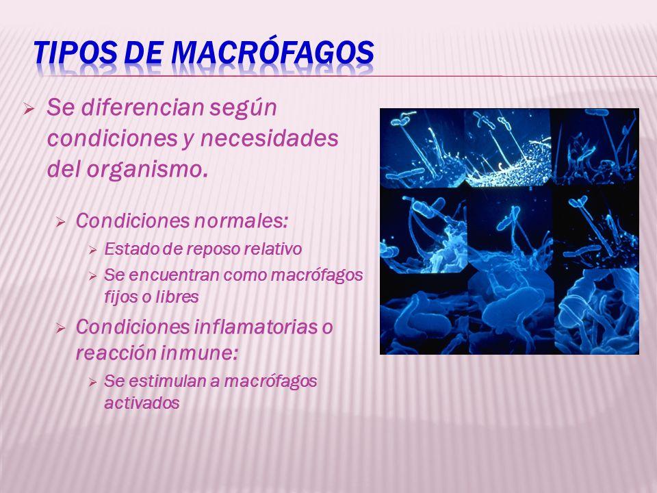 Se diferencian según condiciones y necesidades del organismo. Condiciones normales: Estado de reposo relativo Se encuentran como macrófagos fijos o li