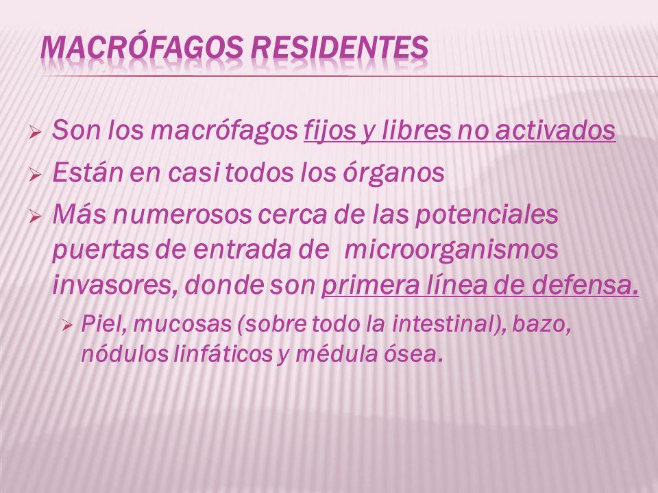 Son los macrófagos fijos y libres no activados Están en casi todos los órganos Más numerosos cerca de las potenciales puertas de entrada de microorgan