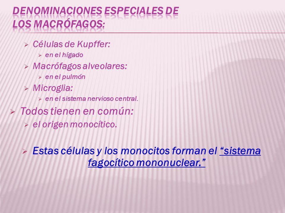 Células de Kupffer: en el hígado Macrófagos alveolares: en el pulmón Microglia: en el sistema nervioso central. Todos tienen en común: el origen monoc