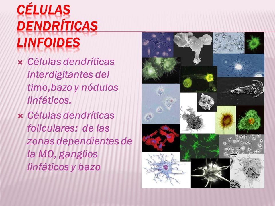 Células dendríticas interdigitantes del timo,bazo y nódulos linfáticos. Células dendríticas foliculares: de las zonas dependientes de la MO, ganglios